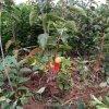 陽豐甜柿苗栽種方法 山西陽豐甜柿苗