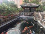 杭州天平山锦鲤养殖场 一流锦鲤鱼 红白锦鲤鱼