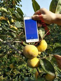 供應6公分柿子樹 8公分柿子樹 10公分綠化柿子樹