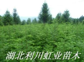 苗农基地直销1米以上水杉树苗10万棵