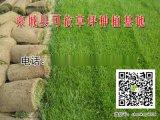 平度草坪|求購高羊茅草皮|黑麥草草籽批發價格