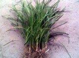 低价批发销售北京丹麦草