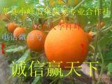 莘县小峰瓜果蔬菜专业合作社供应脆香甜洋香瓜