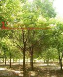水杉《中山杉》区别 2公分中山杉图片/价格
