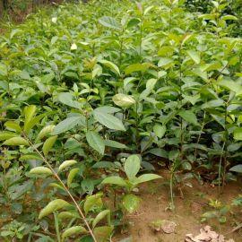 流苏苗|流苏树|5、6公分流苏苗价格
