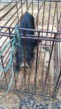 上海春宝藏香猪养殖专业合作社