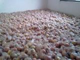 陝西膜袋紅富士蘋果紅富士蘋果價格