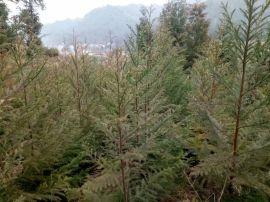 柳杉苗/米径3-5公分柳杉绿化苗