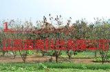 8公分柿子樹多少錢一棵  湖南苗木基地報價