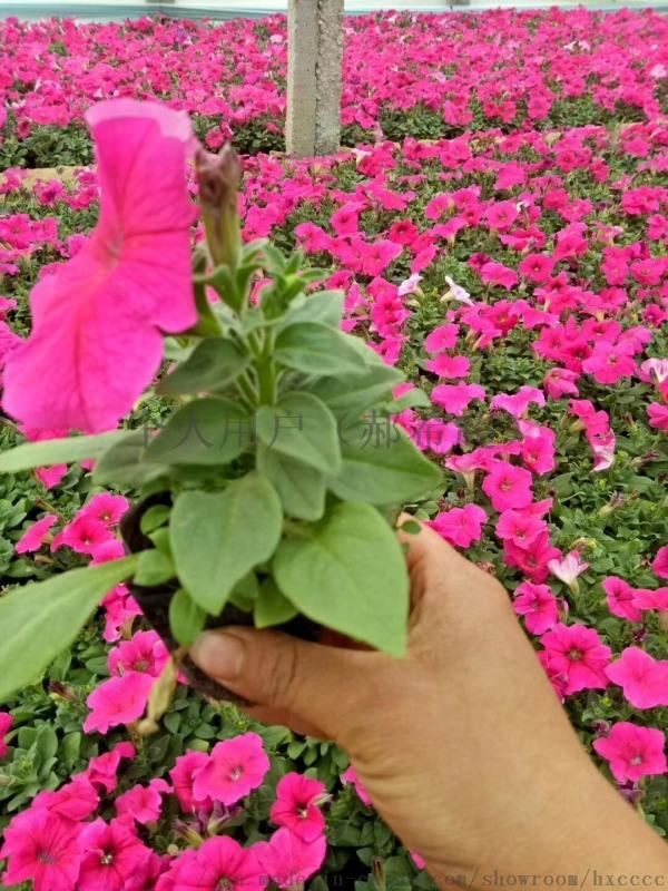 哪余的四季草花便宜草花雞冠花非洲鳳仙三色堇時令草花