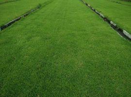 岳阳混播的百慕大,兰引三号草皮草毯