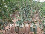 山楂樹苗直銷 大糖球山楂樹苗 大 優質大五棱山楂苗 新品種果樹果