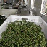 四川鲜花椒加工设备 保鲜花椒清洗杀青生产线