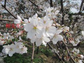 苏州樱花树价格、樱花树价格、鸿运果、庭院景观绿化设计、别墅绿化公司、苏州桂花树报价