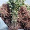 批发香椿苗 红油香椿苗 大棚种植 出芽率高 效益好