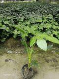 供應優質灌木類植物/供應八角金盤/八角金盤圖片