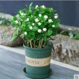 茉莉花盆栽植物室内花好养重瓣四季开花不断虎头茉莉易养活带花苞
