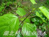 湖北利川豆腐树苗可制作美味佳肴的豆腐树叶