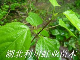 湖北利川豆腐樹苗可制作美味佳餚的豆腐樹葉
