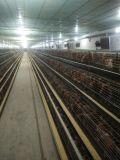 60天北京峪口青年雞