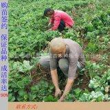 脫毒二代草莓苗 大棚種植草莓苗 草莓苗供應基地
