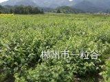 神仙豆腐树苗怎么种植