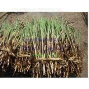 供应水生植物芦苇苗种植芦苇苗