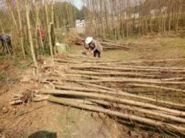 水杉/米径5公分水杉树苗工程苗