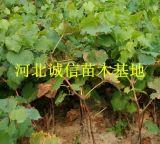 優質紅提,巨峯葡萄苗,赤霞珠佔地葡萄苗,昌黎葡萄苗