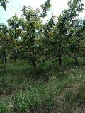 8公分樱桃树===10公分挂果樱桃树