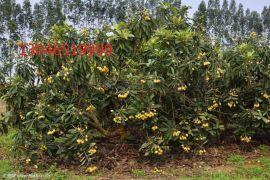 江蘇大豐2公分枇杷樹苗木基地價格