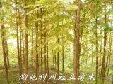 水杉苗/米径3公分水杉树苗