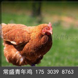 大午金凤鸡苗60日龄大午金凤雏鸡
