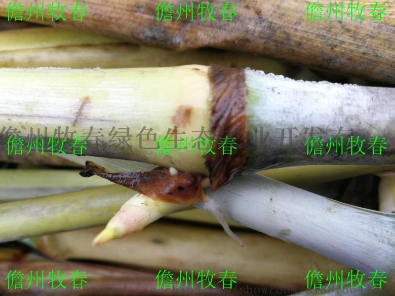 菌草中心巨菌草苗,巨菌草种芽种子 新型多年生巨菌草牧草种子