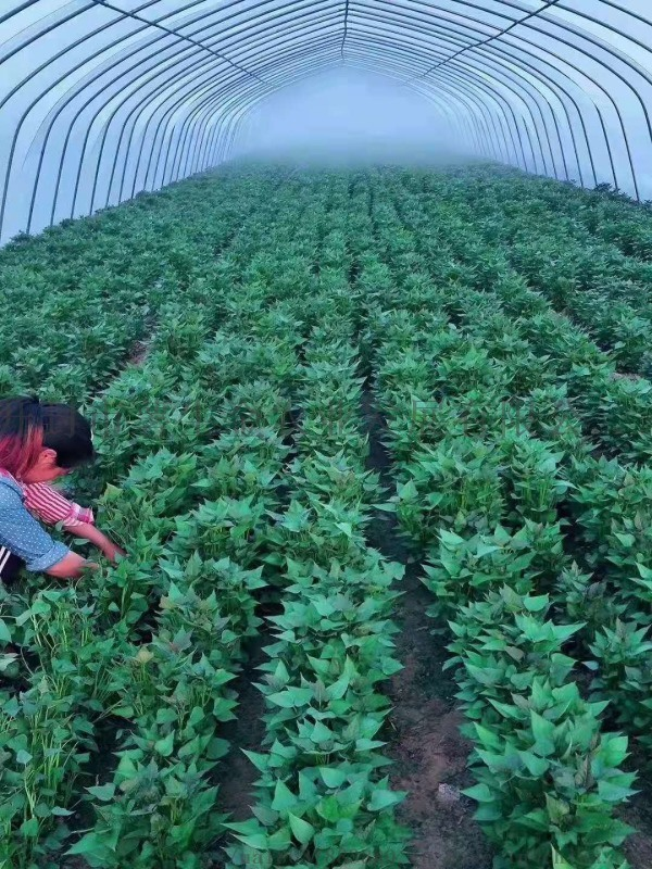 脫毒西瓜紅紅薯苗供應