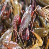 山东潍坊 大量供应小龙虾
