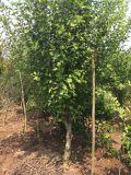 好景园林常年出售各种规格木槿树苗