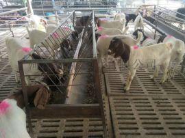 波尔山羊苗 波尔山羊价格 波尔山羊养殖场