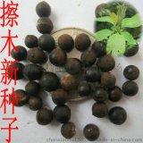江蘇檫木種子、優質檫木種子、檫木種子價格、檫木種子