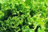 有机蔬菜A蔬菜001生菜
