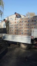 鹤壁惠民养殖中心供应60天海兰褐青年鸡