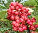 大紅袍花椒種子多少錢一斤,河南產地直銷,花椒樹苗
