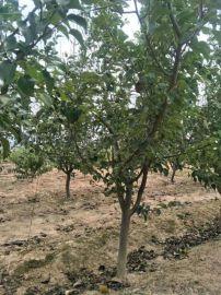 4公分梨树===5公分梨树==运城6公分梨树