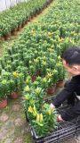 成都亚洲百合基地亚洲百合苗圃直销低价格存活率高批量供应