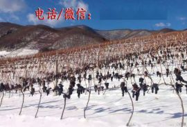 冰葡萄苗 北冰红葡萄苗 集安北冰红葡萄苗