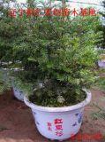 东北红豆杉基地、东北红豆杉种苗、辽宁东北红豆杉、东北红豆杉种子