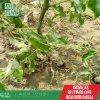 枣树苗 枣树苗品种 金丝小枣 沾化冬枣 批发价格
