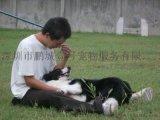 鹏城k9快乐训犬俱乐部边境牧羊犬训练