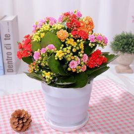花盆栽花卉重瓣花苗带花苞大植物室内四季开花不断新品种包邮