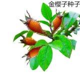 批发金樱子种子 糖罐 中草药籽糖种子/叶/黄茶瓶/金樱子根/蜜糖罐